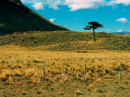 First sign of the trees renowned in this region, the Araucaria Monkey Puzzle Tree.