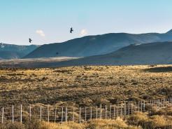 Condors in Torres del Paine.